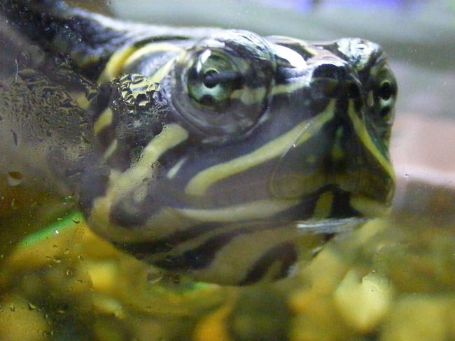 Aquatopia Close-up Cooter One Animal Reptile Terrace Turtle Water