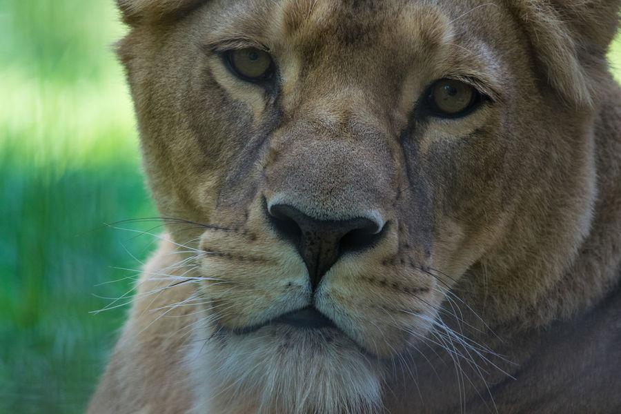 Löwin - trauriger Blick in die Kamera Nahaufnahme Portrait Löwin Kopf Augen Schnauze Maul Traurig Blick In Die Kamera Animal Themes Lionhead Portrait Close-up Lioness Big Cat