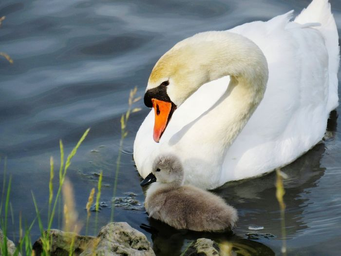 EyeEm Selects Animal Bird Animal Wildlife Animals In The Wild Swan Water Beak Cute Nature Close-up No People Outdoors Animal Themes Day Cygnet Beauty In Nature Pond Mom And Baby Swan Summer The Great Outdoors - 2019 EyeEm Awards