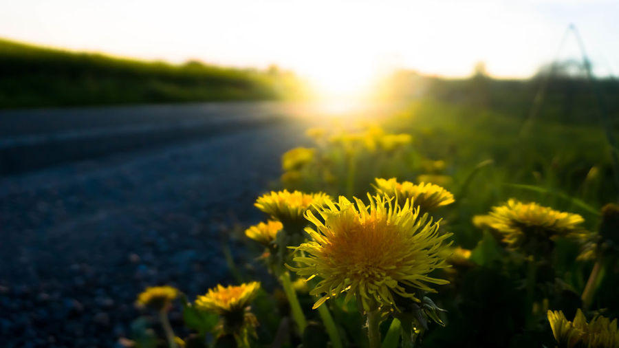 Sow Thistle Agriculture Beauty In Nature Blossom Close-up Day Field Flower Flower Head Fragility Freshness Growth Nature No People Oilseed Rape Outdoors Plant Scenics Sky Sun Sunlight Sunset Tranquil Scene Yellow First Eyeem Photo