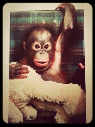 Animals Orangutan Save Orangutan