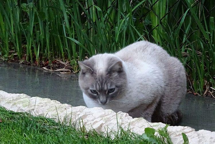 One Animal Domestic Cat Feline Animal Themes Grass Animal Nature Mandarin Duck Chats