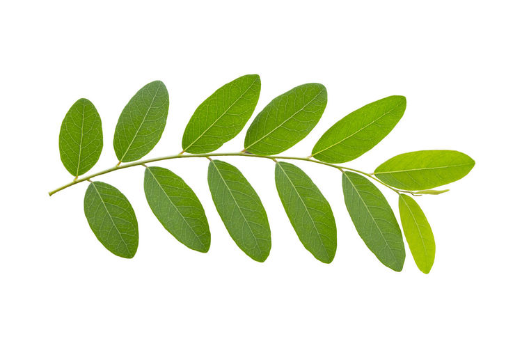 crocodile isolated on white background.,Crocodile with open mouth Leaf Isolated Leaves White Green Background Tea Plant Nature Summer Natural Closeup Fresh Spring Healthy Tropical Growth Herbal Branch Texture White Background Green Color Cut Out
