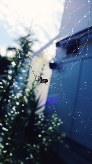 Morning Backyard Garden Spider Web Fragility Invertebrate Insect Close-up Spider Focus On Foreground Arachnid No People Animals In The Wild Day Animal Wildlife One Animal Animal Themes Nature Outdoors Vulnerability  Drop Animal Arthropod The Minimalist - 2019 EyeEm Awards