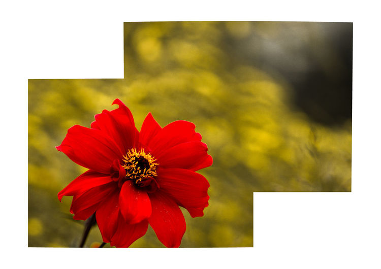 dahlia Flower Flowering Plant Petal Flower Head Beauty In Nature Inflorescence Vulnerability  Fragility Freshness Plant Red Auto Post Production Filter Close-up Transfer Print Focus On Foreground No People Growth Nature Pollen