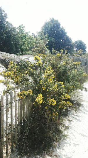 Yellow Flower Fleur Jaunes Sandy Road No People Beauty In Nature Tranquility Wooden Fence