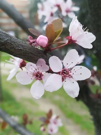 Sakura In Serbia EyeEm Best Shots EyeEmNewHere EyeEm Nature Lover Eye4photography  Flower Head Flower Tree Branch Springtime Pastel Colored Pink Color Blossom Petal Close-up