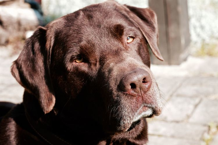 Close-up of chocolate labrador