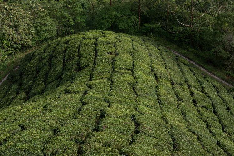 Scenic view of tea plantation