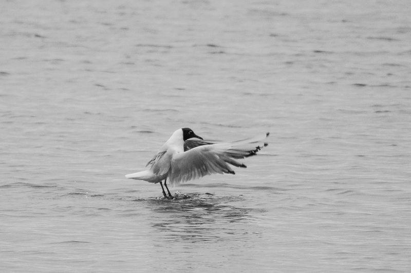 Black-headed gull landing in river