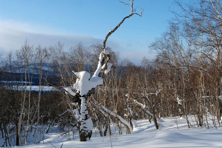 Old tree Bare Tree Beauty In Nature Cold Temperature Day Deepsnow Mountain Nature No People Outdoors Sky Snow Sunshine Tranquility Tree Winter