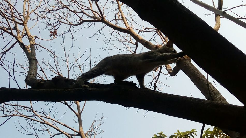 Climbing trees.. Tree Branch Nature Tree Trunk Bare Tree Climbing Animal Themes Beauty In Nature Sky Outdoors Nature Reserve Day Mammal Nature No People One Animal Cat Cat Climbing Cat Climbing A Tree Pet Pet Photography  Pets Corner Cats Of EyeEm Cats Pet Portraits