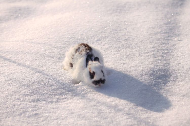 High angle view of snowshoe hare on field