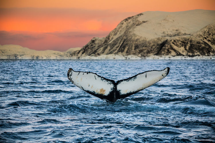 A beautiful whale in north-norway