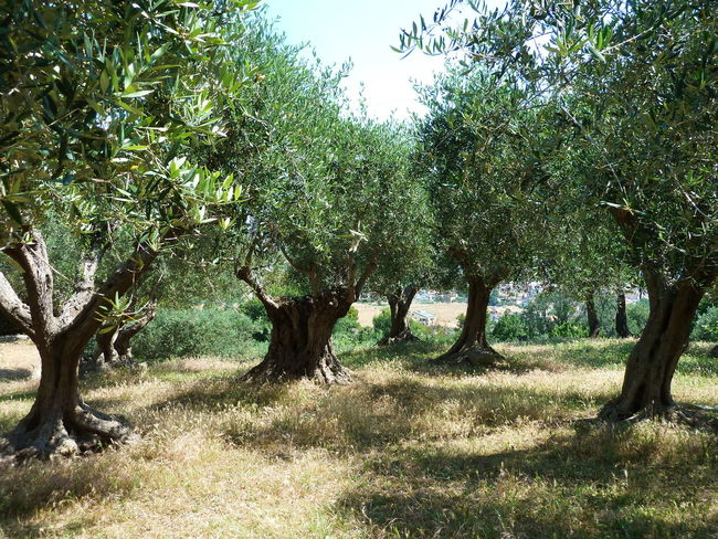 Stillleben in Italien Branch Day Growth Landscape Nature No People Olive Trees Outdoors Tree