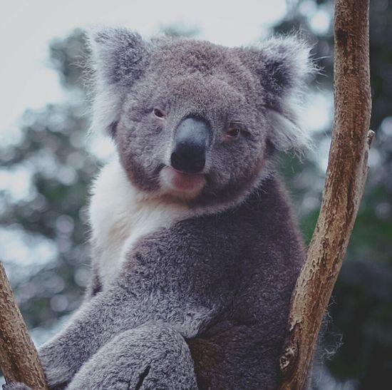 Portrait of koala sitting on branch at zoo