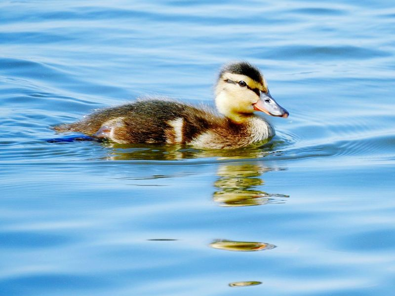 Swimming Animals In The Wild Lake One Animal Water Animal Themes Animal Wildlife Young Animal Bird Water Bird Young Bird No People Day Nature Outdoors Close-up Duck Duck Baby Reflection Looking At Camera Live For The Story EyeEmNewHere Duckling Beak The Great Outdoors - 2017 EyeEm Awards Paint The Town Yellow