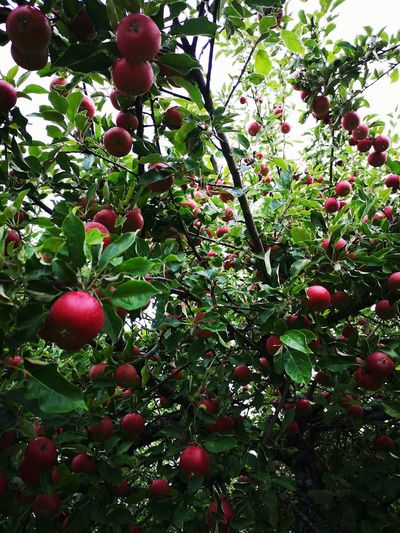 Sweden Apple Variety Ingrid Marie Green Leaves Green Color Red Color Apple Trees Garden Apple Fruit Lots Of Apples Tree Branch Fruit Red Close-up Food And Drink Green Color Apple Growing Apple Tree