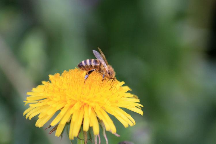Animal Wildlife Bestäubung Dandelion Flower Flower Head Focus On Foreground HoneyBee Honigbiene Insect Insects  Insekt Löwenzahn Nature Outdoors Plant Pollen Pollination Wildlife Yellow