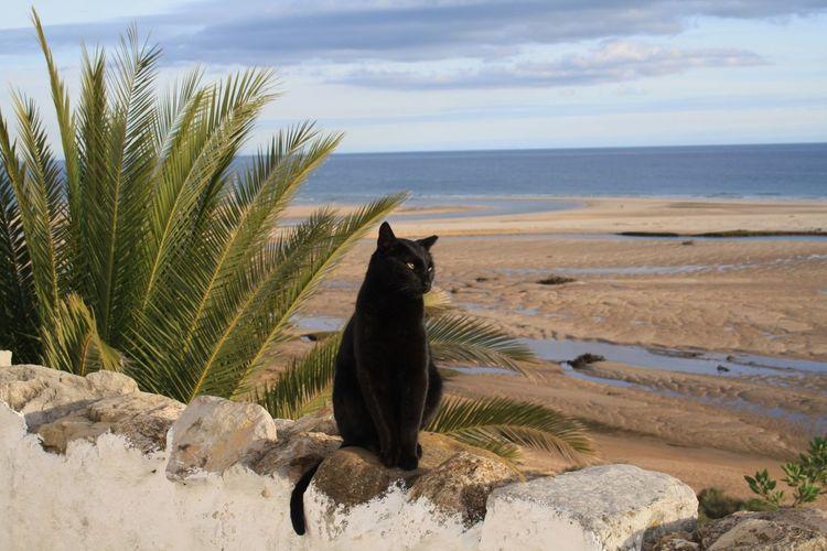 Cat Cat Beach Sky Land Water Sea Nature Animal Mammal Animal Themes Vertebrate One Animal Pets Scenics - Nature Cloud - Sky Domestic Plant Sand Horizon Over Water No People Domestic Animals