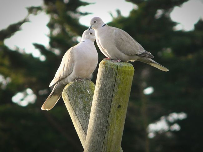 Grey Birds Turtledoves Streptoria Two Birds Calmness Birds Waiting Face To Face On Wood Pillar Couple Of Bird The Eyes Of EyeEm Black Necklaces Birds🐦🐦 Warm Light Bird Photography Selected Focus Nature Background Vignette In France