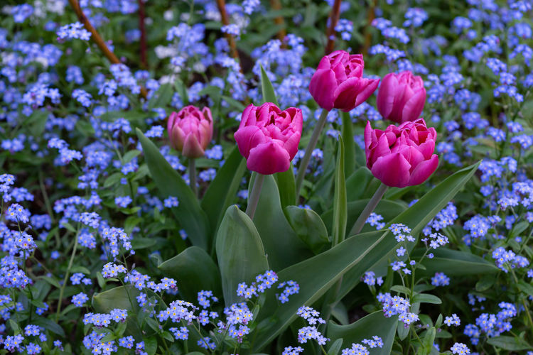 Tulips Beauty In Nature Bud Close-up Day Field Flower Flower Head Flowerbed Flowering Plant Forget Me Not Fragility Freshness Growth Inflorescence Nature No People Outdoors Petal Pink Color Plant Purple Selective Focus Vulnerability
