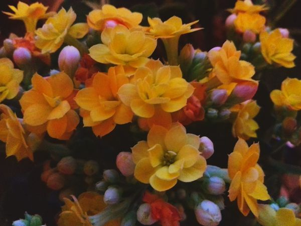 Brazil Flower Calandiva Kalanchoe Beauty In Nature Coral Yellow Nature No People