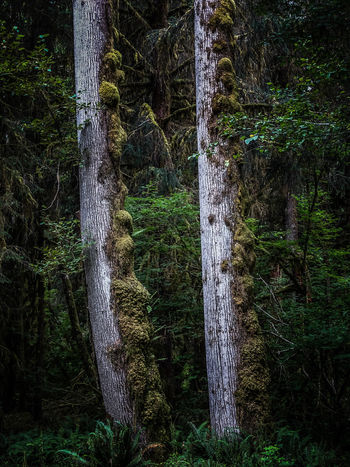 Forest, Olympian Peninsula, Washington/USA Beauty In Nature Forest Green Green Color Growth Lush Foliage Nature No People Remote Tranquility Tree Tree Area Tree Trunk Wilderness WoodLand