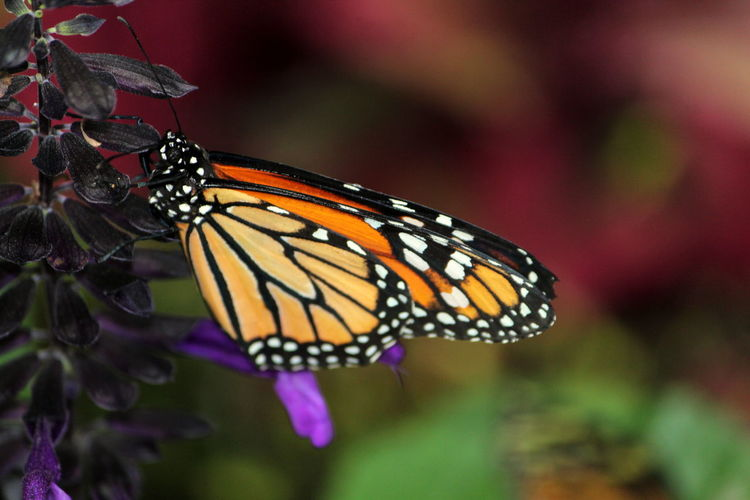 Animal Animal Themes Animal Wildlife Animal Wing Animals In The Wild Beauty In Nature Butterfly Butterfly - Insect Close-up Flower Flower Head Flowering Plant Focus On Foreground Fragility Growth Insect Invertebrate Nature No People One Animal Outdoors Plant Pollination Purple Vulnerability