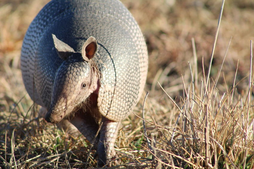Armadillo EyeEm Selects One Animal Animal Wildlife Animals In The Wild Day Outdoors No People Animal Themes Mammal Looking At Camera Close-up Nature Portrait Grass