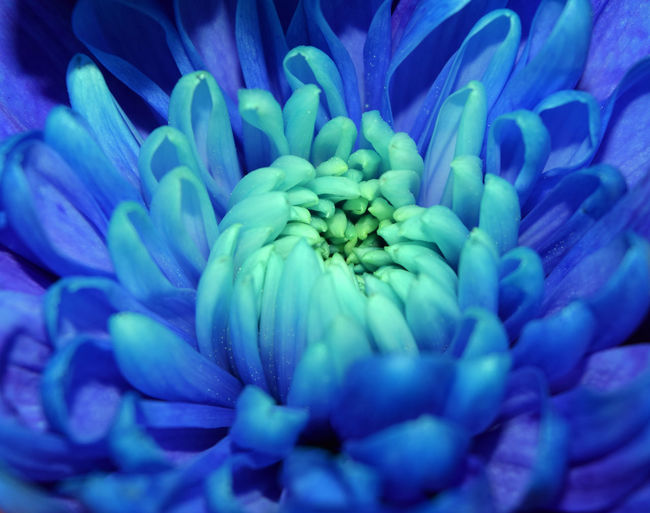 Backgrounds Beauty In Nature Blue Blue Flower Botany Close-up Flower Flower Head Fragility Growth No People Petal Single Flower
