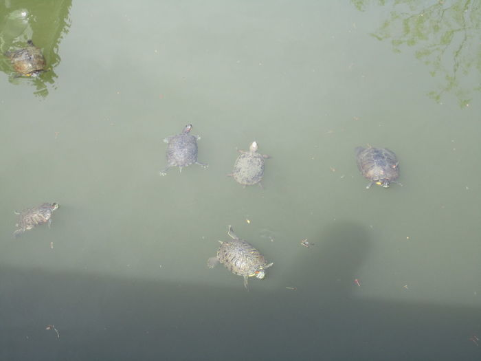 Aquatic Life Day Living Things Nature No People Outdoors Swimming Turtles Water