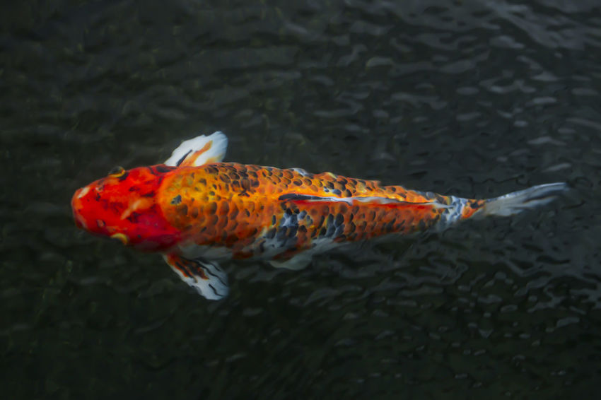 Blurred. Motion Blur. Close up. Reflection of light where Red Koi Fish is underwater. Animal Themes Animal Wildlife Animals In The Wild Carp Close-up Day Fish Koi Carp Nature No People One Animal Outdoors Sea Life Swimming Water Waterfront