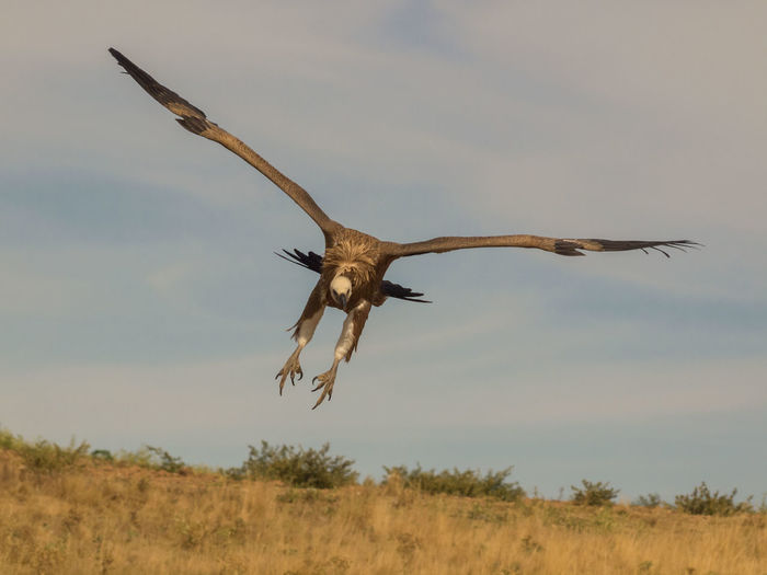 Low Angle View Of Vulture Flying Over Field Against Sky