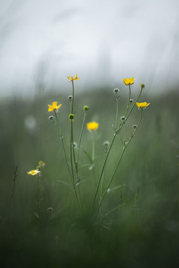 wild grass on June meadows, Middle of Russia Field Green Green Color Russia Russian Nature Soft Light Bokeh Bokeh Background Color Daylight June Meadow Summer Vibrant Wild Grass Yelow Flowers