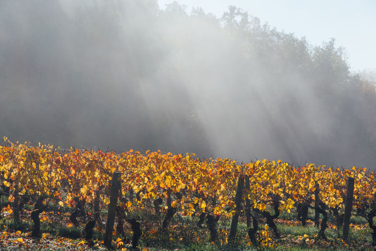 Scenic view of vineyards during autumn against sky. scenic view of fog on vineyard