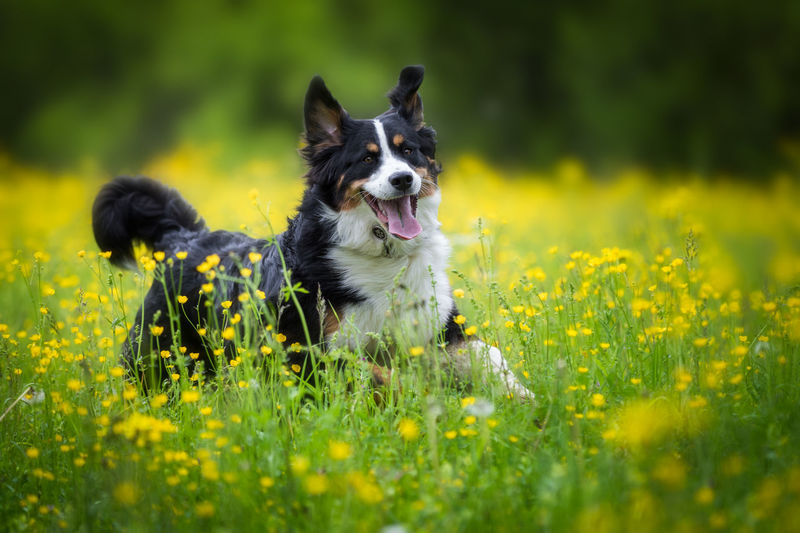 Animal Themes Beauty In Nature Border Collie Day Dog Domestic Animals Field Flower Grass Green Color Growth Mammal Nature No People One Animal Outdoors Panting Pets Plant Retriever Selective Focus Sky Yellow