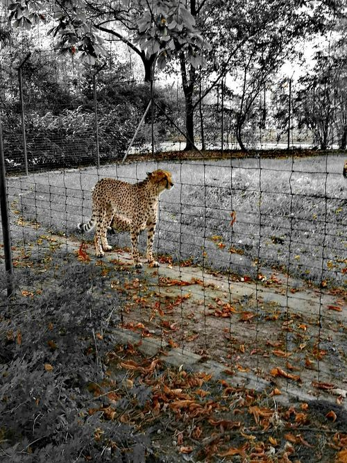 Gepart Animals In The Wild Animals Nature Gepards Outdoors Black And White Photography