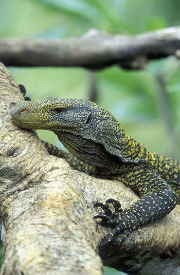 Close-Up Of Monitor Lizard On Tree Trunk