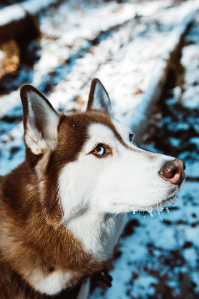 Animal Themes Close-up Cold Temperature Day Dog Domestic Animals Focus On Foreground Mammal Nature No People One Animal Outdoors Pets Siberian Husky Sled Dog Snow Winter