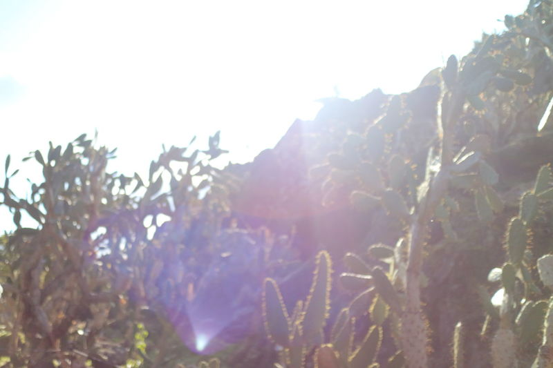 Beauty In Nature Cactus Cactus Garden Outdoors Pale Plant Sunlight Watery Light