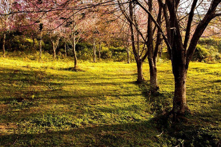 Sunrise reflection to these trees become shadows. Follow IG : birdpheton Tree Nature Beauty In Nature Sunrise Shadows Phulomlo Phuhin Rongkla Phitsanulok Loei Unseenthailand Pink Flowers