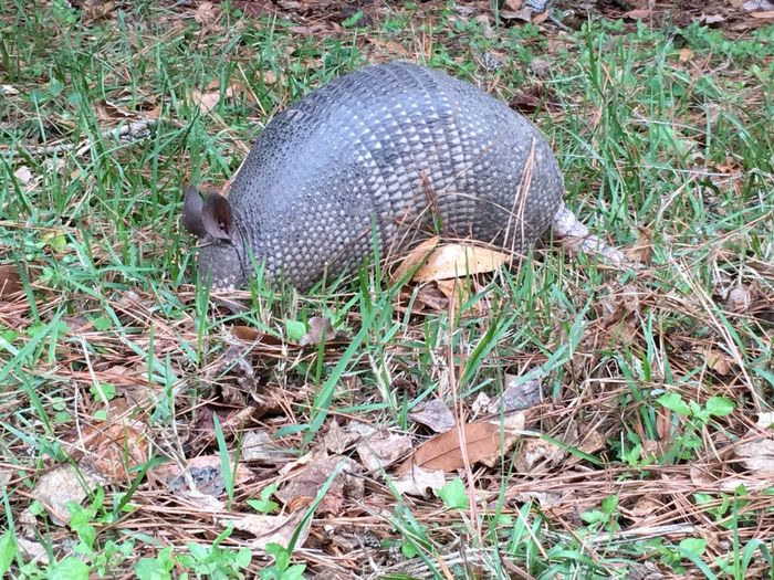 Armadillo One Animal Animals In The Wild Outdoors Armadillo