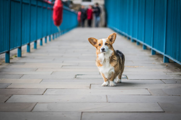 Corgi in front of blue background looking at camera Blue Background Corgi Day Dog Standing Domestic Animals Flooring Focus On Foreground Incidental People Looking At Camera One Animal People Pets The Way Forward