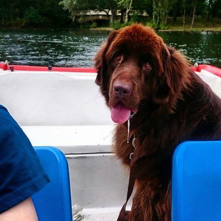 Newfoundland Dog Newfie Brownnewfie Boating Lake Dogstagram Dogs Dogslife Dogoftheday Dog Lover