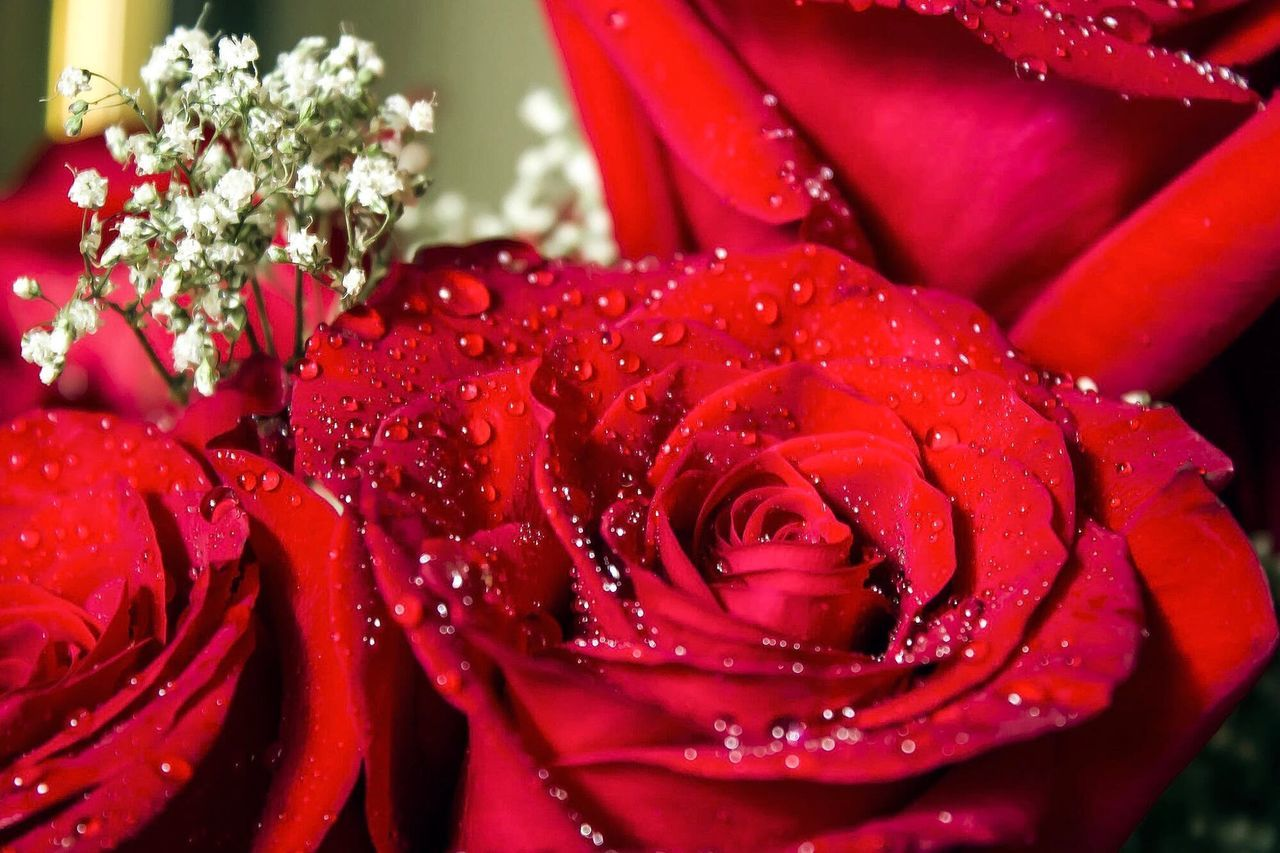 flower, nature, drop, petal, beauty in nature, freshness, rose - flower, water, red, wet, fragility, flower head, growth, no people, close-up, plant, blooming, outdoors, day