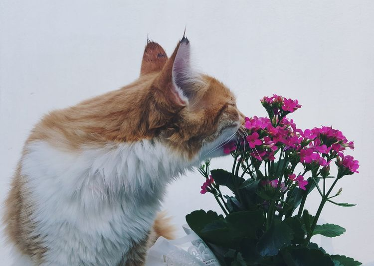 Close-Up Of Cat Smelling Pink Flowers Against White Wall