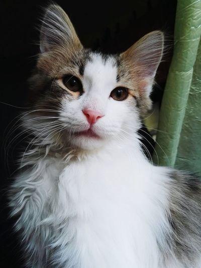 Cat Cats Lovely Love Kitten Meo Meow🐱 Gattino Gatto3mesi Piccolino Cucciolo Amore Sweet Mio Phoneography PhonePhotography HuaweiP8 European  White Cat Animal Love Animals EyeEm Best Shots EyeEm Gallery Pet Portraits