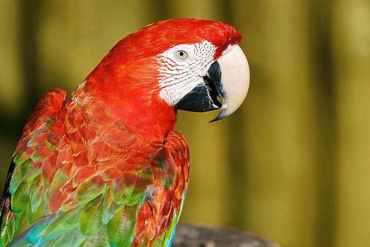 macaw IV , cayo