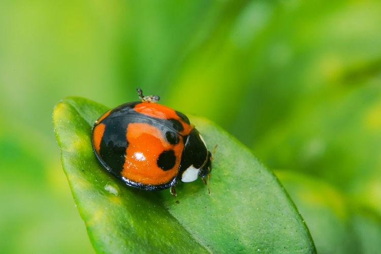 六條瓢蟲變異 Ladybug